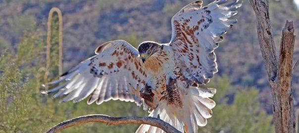 phil-coleman-ferruginous-hawk