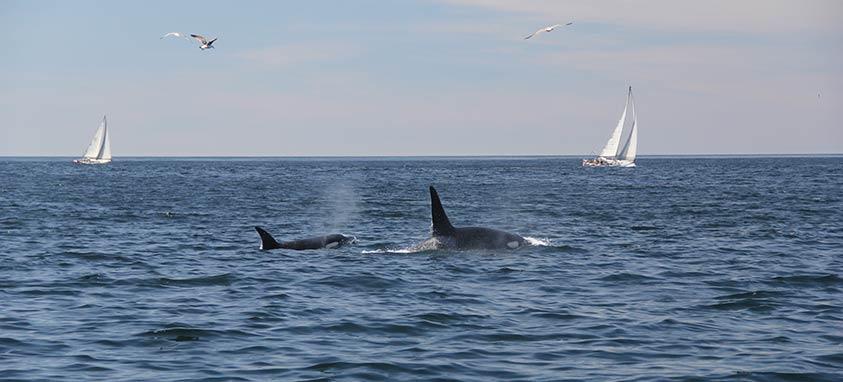 Monterey-Bay-Orcas